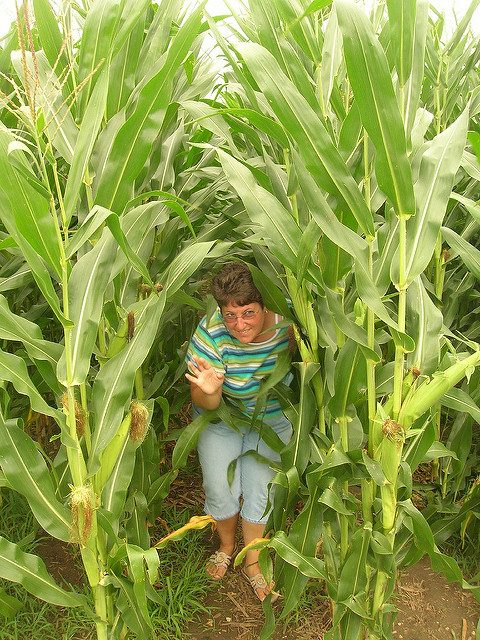 The corn field of Field of Dreams.Author:Justin BrockieCC BY 2.0