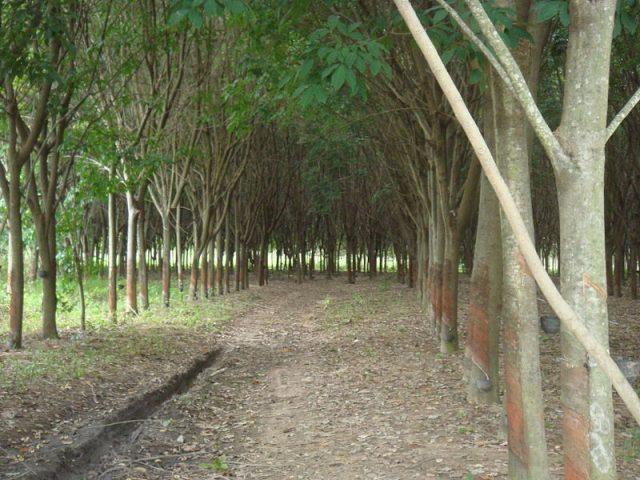 Rubber tree plantation. Author:松岡明芳CC BY-SA 3.0