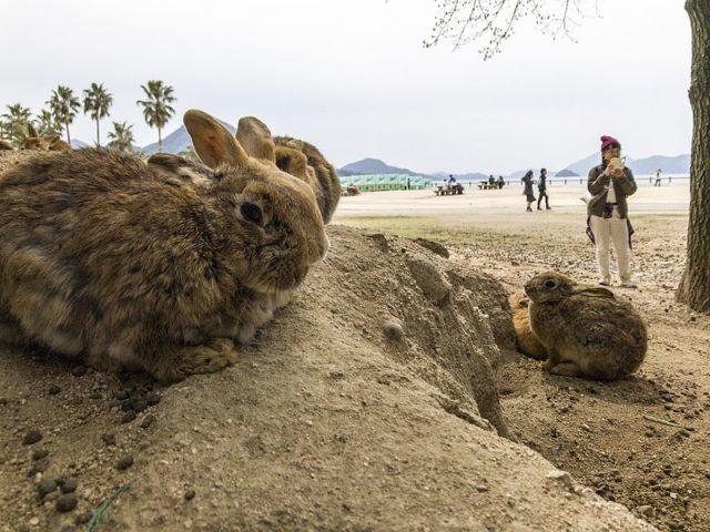 "A group of rabbits rest near the beach at Okunoshima, or ""Rabbit Island,"" Japan."