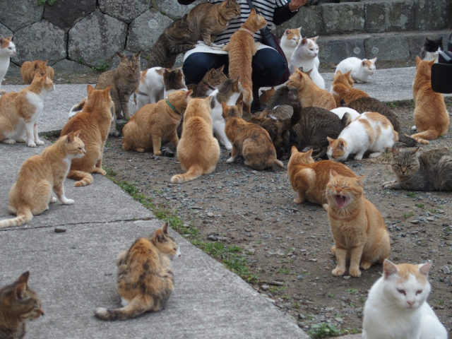 In Japanese culture, it is believed that cats bring good luck. So, residents and tourists who come to Tashirojima every year have the luxury to lose themselves in a swarm of lucky charms.Author:Sayoko ShimoyamaCC BY 2.0