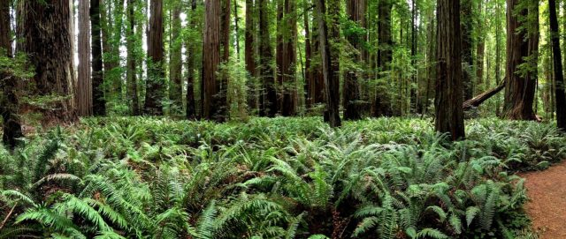 Del Norte County Stout Grove State Park.Author:Ray BouknightCC BY 2.0