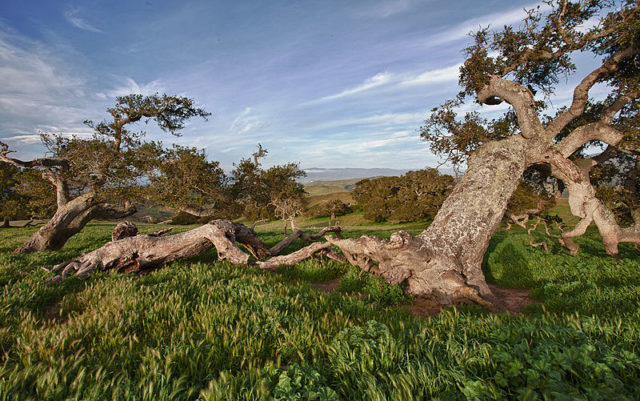 Old Coast Live Oak at Fort Ord. Author: Bureau of Land Management CC BY 2.0