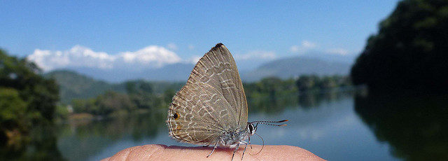 Smith's blue butterfly. Author: Mike Darlow CC BY 2.0