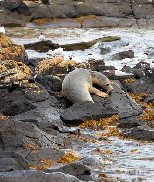 A Grey Seal. Author:Paul McIlroyCC BY-SA 2.0