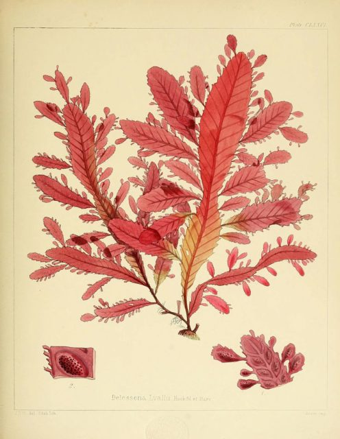 Illustration of the red alga Nitophyllum smithi, one of the plants discovered during the voyages. Drawn and engraved by Walter Hood Fitch in 'The Botany of the Antarctic Voyage of H.M. Discovery Ships Erebus and Terror in the years 1839-1843, under the command of Captain Sir James Clark Ross, Kt.' by Joseph Dalton Hooker